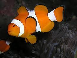 Amphiprion ocellaris md