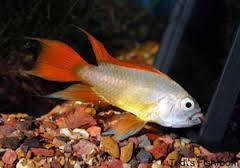 APISTOGRAMMA AGASSIZII GOLD RED 3,5 cm
