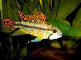 APISTOGRAMMA CACATUOIDES DOUBLE RED 3-4cm