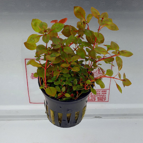 Ludwigia Super red