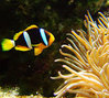 Amphiprion clarkii MD