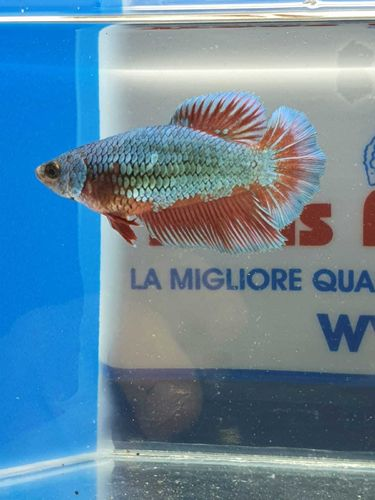 BETTA SPLENDENS FEMMINA HALFMOON ML