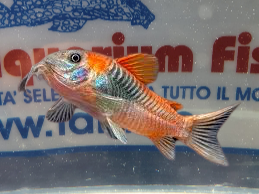 CORYDORAS VENEZUELA ORANGE SM